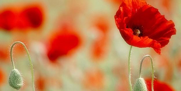 Lohusalara süt veren çiçek: Gelincik