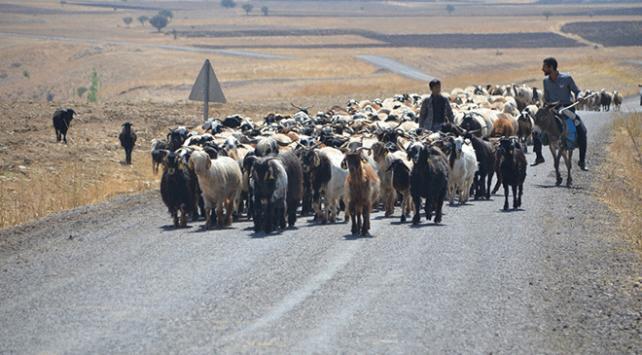 Muş'ta yaylacıların dönüş yolculuğu başladı
