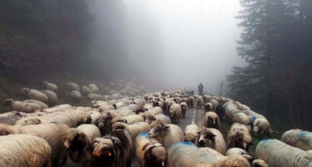 Karadeniz'de yayla sezonunun açılmasıyla birlikte Ordu ve Giresun yaylalarına göç devam ederken, küçükbaş hayvan sahibi besiciler 2- 4 bin TL maaşla çoban bulamamaktan şikayetçi.
