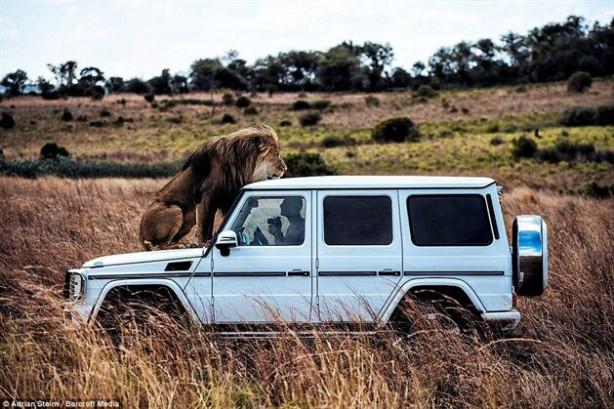 Otomobil üreticisi Mercedes Benz tarafından Afrika doğal hayatına dikkat çekmek için yürütülen kampanya için çekilen fotoğraflarda Aslanlara fısıldayan adam olarak bilinen Kevin Richardson'un dev kedilerle yakınlığı görenleri korkutuyor.