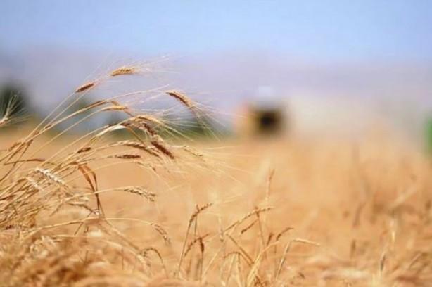 """Foto - Siyez buğdayının Anadolu'da yetişen bir buğday türü olduğunu ve 10 bin yıldır bu topraklarda yaşamış, doğal şartlara intibak etmiş bir cins olduğunu söyleyen Özkan, """"Hatta radyasyona karşı dayanıklı bir buğday türü. Birçok ülke bunu herhangi bir radyasyon saldırısına karşı stoklarında bulundurabiliyor. Bu buğday için diğer buğdayların atası diyebiliriz"""" dedi."""