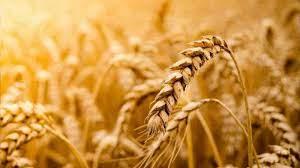 Foto - Tahıl