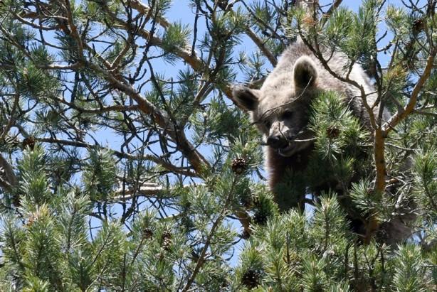 Bozayının ağacın tepesinde beslendiği anlar kameraya yansıdı