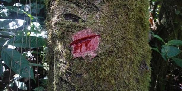 Bu ağaçtan kan akıyor, kullanan şifa buluyor!