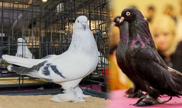 Bunlar sıradan güvercin değil! Fiyatları dudak uçuklatıyor