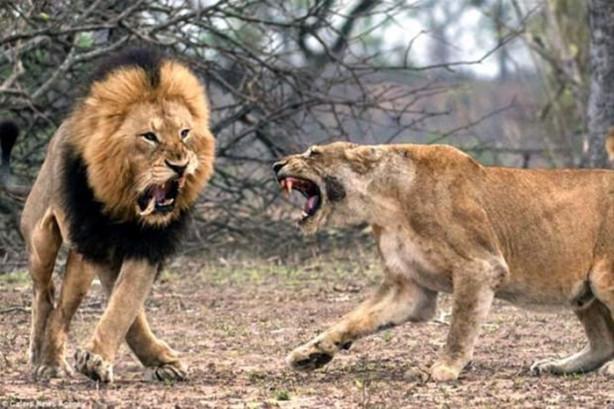 Erkek ve dişi aslan, Güney Afrika'daki Kruger ulusal parkında şiddetli bir kavgaya tutuşurken fotoğraflandı. Kavga esnasında erkek aslanın büyük dişlerinden bir tanesi yerinden çıktı.