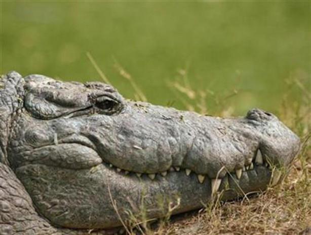 Foto - Yaklaşık 7 metreye kadar büyüyebilen bu hayvanlar, çoğunlukla nehir habitatında yaşarlar. Güçlü çene yapısı ve keskin dişleriyle avlarını kısa süre içinde yakalayıp yutan timsahlar, özellikle büyük cüsseli avlarını önce suya sürüklüyor sonrasında yiyor.