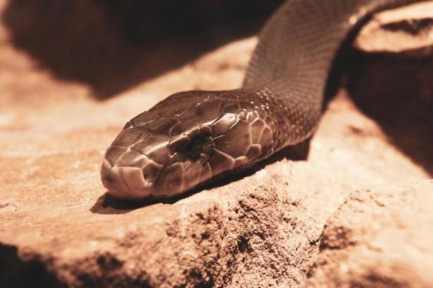 Foto - 45 DAKİKA İÇİNDE ÖLDÜRÜYOR Yılanlar yeterince korkutucu olmalarına rağmen bazı türleri var ki dünyanın en öldürücüleri arasında yer alıyor. Onlardan biri olan Kara Mamba, Afrika'nın en ölümcül yılanı olarak biliniyor. Bu yılanın zehri ortalama bir insanı yaklaşık 45 dakika içinde öldürür.