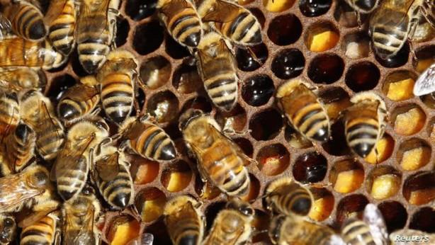 Foto - 1000 VAKADA İSİMLERİ GEÇİYOR Afrikalı arılar, Amerika'da saldırgan davranışlarıyla ünlüler ve bu davranışlarından ötürü bal arılarına 'katil arılar' da deniyor. Arılar koloniler şeklinde gezebiliyor ve 800 bin katil arı bir anda bir insanı ya da hayvanı kovalayabiliyor. Arı sokması, özellikle alerjisi olanlar için kesin ölümle sonuçlanıyor. Yetişkin bir insan yaklaşık 1000 arı sokmasıyla hayatını kaybederken, çocuklarda bu sayı 500'e kadar düşüyor.