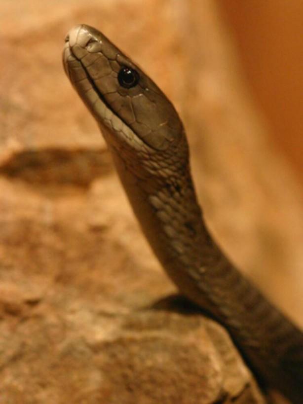 Foto - 4 buçuk metre uzunluğa kadar ulaşan bu yılan türü, vücutlarının üçte biri kadar yükseğe uzanabilir. Yılan uzmanı Sara Viernum, Kara Mamba türünün son derece zehirli olduğnu söylüyor. Çok hızlı hareketleriyle ve saldırgan tavrıyla dikkat çeken bu yılan türü, saldırı ya da tehdit algıladığında dik pozisyona geçip, karşı tarafa atak yapıyor.