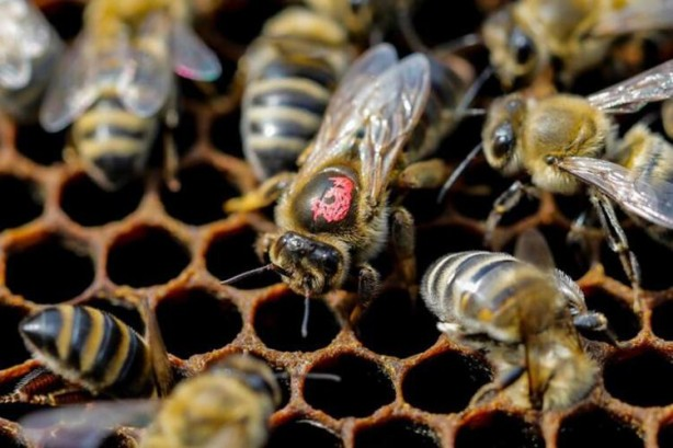 Foto - Arılar her ne kadar hayatımızın devamlılığı için çok önemli olsalar da bazı durumlarda 'katile' bile dönüşebiliyorlar. Bal arılarının sürüler halinde insanlara saldırdığı yüzlerce vaka kayıtlara geçmiş. Bu arılar insanları yaklaşık olarak 400 metre kadar kovalayabiliyor. Resmi kayıtlara göre 1000 kişi bu arılar sebebiyle hayatını kaybetti.