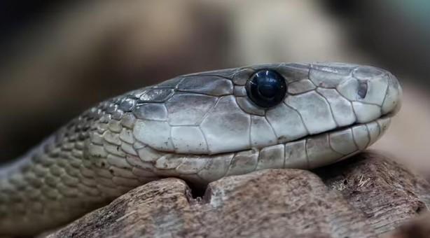 Foto - Kara Mamba ısırığındın kurtulmak mümkün mü? Aslında mümkün ancak Güney ve Doğu Afrika bölgelerinde panzehir bulmak zor olduğu için ölüm oranları oldukça yüksek. Bu yılanın ısırığının ardından bir panzehir uygulanmadığı takdirde kişinin ölme ihtimali yüzde 100'dür. Sadece iki damla zehir bile bir yetişkinin bilinç kaybı ve solunum yetmezliği yaşamasına sebep oluyor. Son aşamada ise kalp yetmezliğine sebep oluyor ve kesin ölüm gerçekleşiyor.