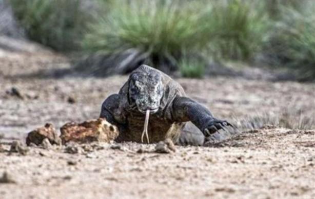 Komodo ejderinden inanılmaz avlanma! Geyiği böyle yakaladı