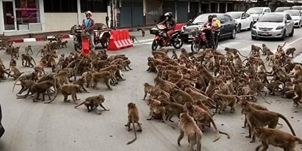 Koronavirüs onları da etkiledi... Maymunlar bir şehri böyle istila etti