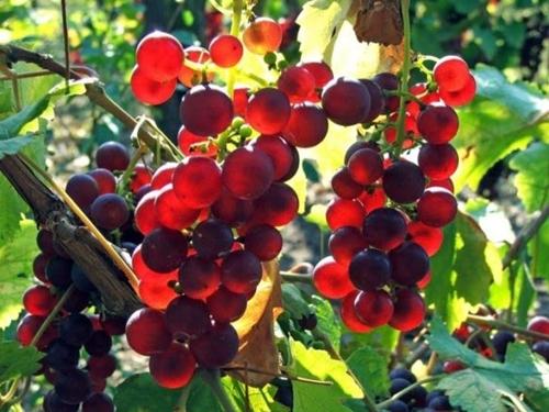 Foto - O, gökten su indirendir. Bununla herşeyin bitkisini bitirdik, ondan bir yeşillik çıkardık, ondan birbiri üstüne bindirilmiş taneler türetiyoruz. Ve hurma ağacının tomurcuğundan da yere sarkmış salkımlar, -birbirine benzeyen ve benzemeyen- üzümlerden, zeytinden ve nardan bahçeler (kılıyoruz.) Meyvesine, ürün verdiğinde ve olgunluğa eriştiğinde bir bakıverin. Şüphesiz inanacak bir topluluk için bunda gerçekten ayetler vardır. (Enam Suresi, 99)