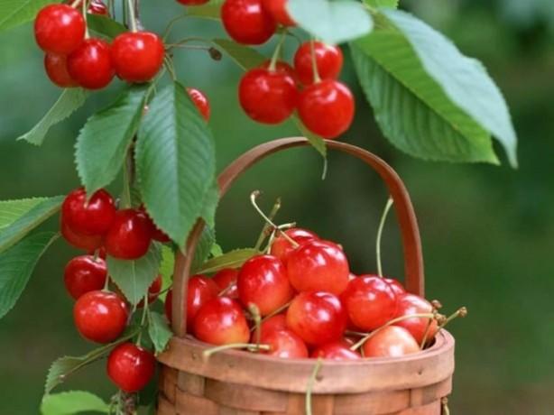Meyve olgunlaştıktan sonra tezgahlardaki yerini almadan önce yapılan mumlama bir çok yerde doğal ve