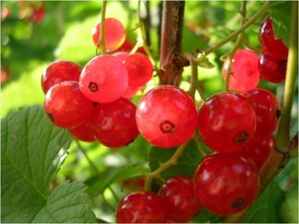 Bektaşi üzümü, A, B, C ve E vitaminleri bakımından zengindir. Aynı zamanda zengin bir potasyum, fosfor, manganez, bakır ve demir deposudur.