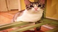 İki bacaklı kedi