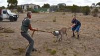Kanguruya işkence gibi kurtarma