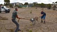 Kanguruya yardım etmek istediler ama...