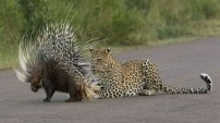 Kirpi, leoparı doğduğuna pişman etti!