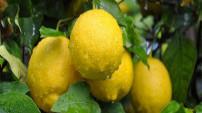 Limon dilimiyle uyumanın inanılmaz yararları
