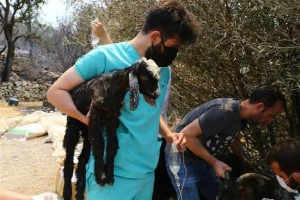 Foto - Antalya Manavgat'taki yangında alevlerden ve dumandan etkilenen küçükbaş ve büyükbaş hayvanlara gönüllü klinik hizmeti veren veteriner hekimler, zamanında müdahaleleriyle onlarca hayvanı hayata döndürdü. Hasar tespiti yapılan yerlerde ekipler, yangından zarar gören hayvanlara yanık ve yara müdahalesi yapıyor.