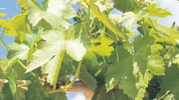 Yapılan araştırmalar sonucu üzüm yaprağı özütü kan dolaşımını artırıyor, bacaktaki şişme ve ağrıları da azaltıyor.