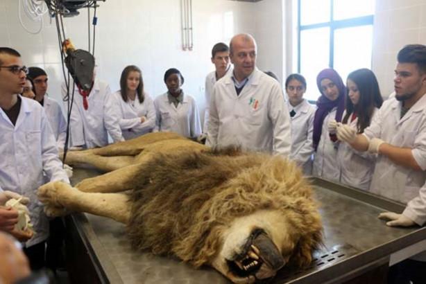 Antalya Hayvanat Bahçesi ile MAKÜ arasındaki işbirliği protokolu gereği bir süre önce yıldırım çarpması sonucu rahatsızlanan ve tedavi edilmesinin ardından hayatını kaybeden aslan, Veteriner Fakültesi Anatomi Bölümü'ne getirildi.
