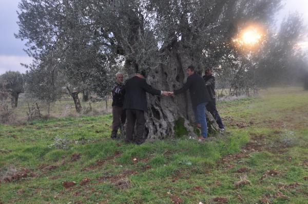 Bayramiç Haberleri: Bayramiçte, 600 yıllık zeytin ağacı tescillenmeyi bekliyor