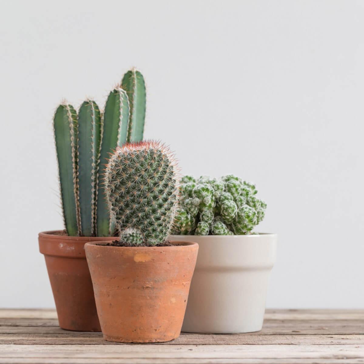 Decorating Dilemma House Plants: Evde Kaktüs Bakımı Nasıl Yapılır?