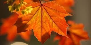 ardıç yaprağı diz ağrısı