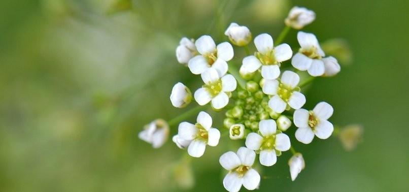 varis tedavisi - bitkisel yöntem