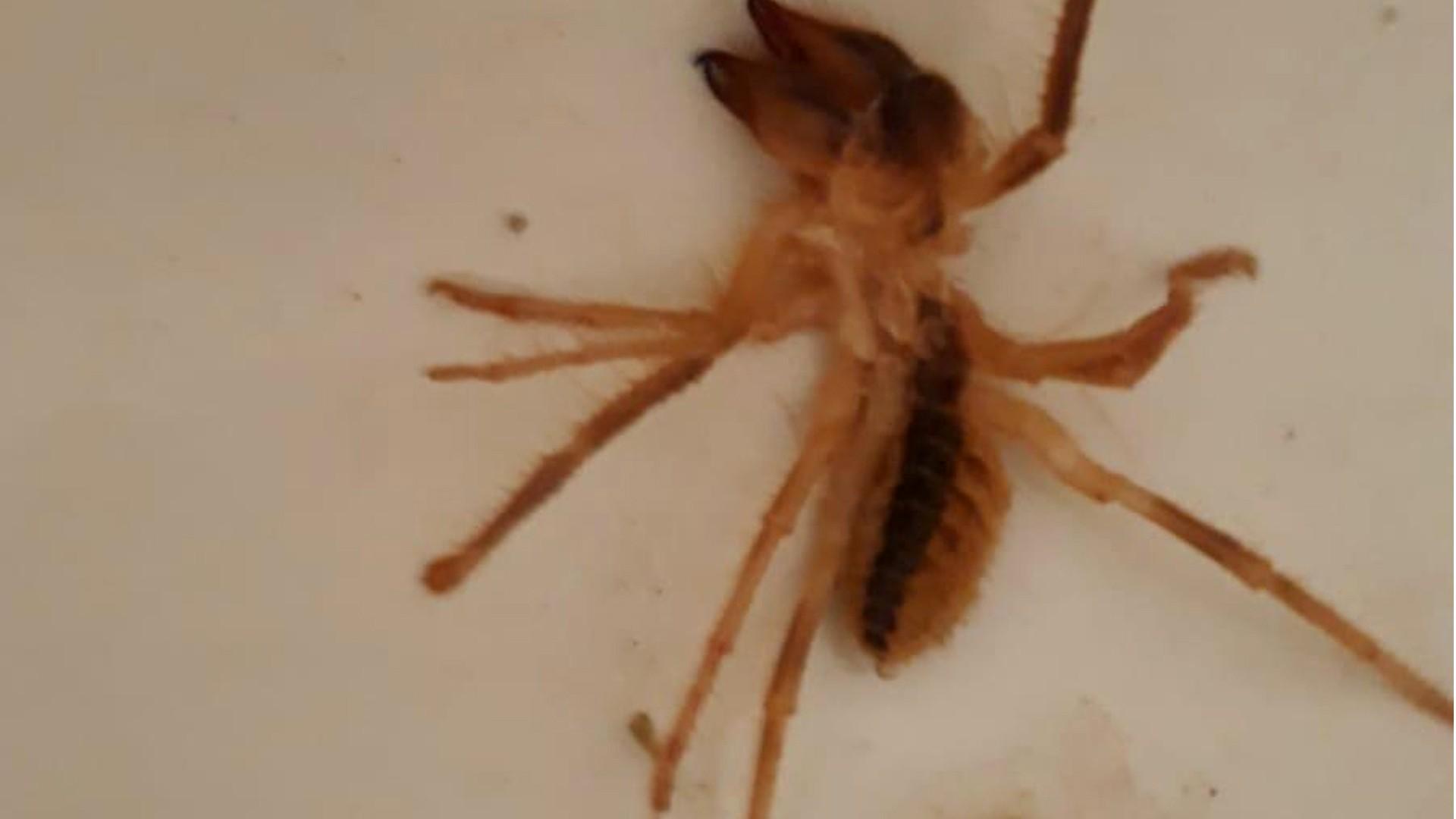 1593950547 c44a2d Bir insanı öldürebiliyor! Kırıkkale'de sarıkız örümceği paniği 1