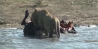Aslan hamile bufaloya bakın ne yaptı!