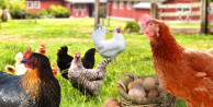 Beyaz et ve yumurtada kriziden çıkış yolu: Gezen Tavuk