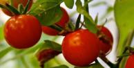 Çeri domates kanserden koruyor