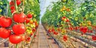 'Çöp'ten sağlanan enerjiyle domates yetiştiriyorlar