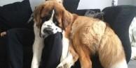Dev köpekler görenleri şaşırtıyor - FOTO
