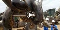 Dünyanın en büyük yılanı inşaatta yakalandı!