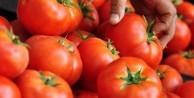 Dirençli domates böyle geliştirildi!