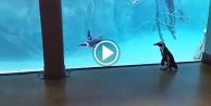 Havuzun dışında kalan penguenin imtihanı!