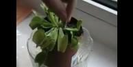Kahvaltıda sucuk yiyen bitki