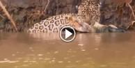 Kaplan ile timsahın sudaki savaşı