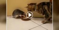 Kedi ile farenin süt kavgası