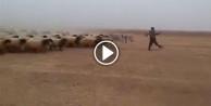 Koyunları asker gibi yetiştiren çoban