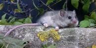 Nesli tükenen fare türü için...