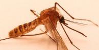 Sivrisinek aşısı için gönüllüler aranıyor
