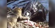Timsahla kedinin yemek kavgası