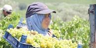 Ünlü Tarsus üzümü ihracata hazırlanıyor